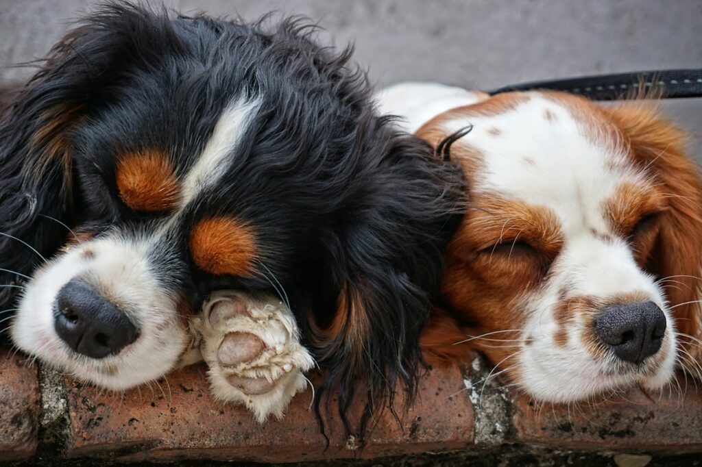 sleeping dogs king charles cavalier