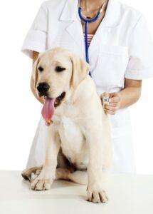 Labrador at vets