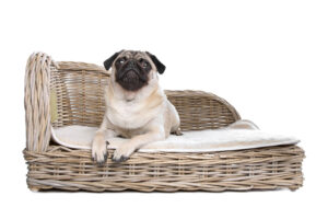 Pug on a wicker bed