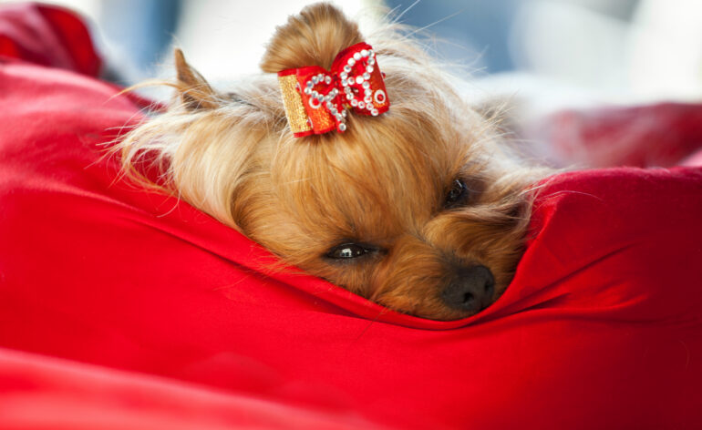Yorkshire terrier in luxury bed