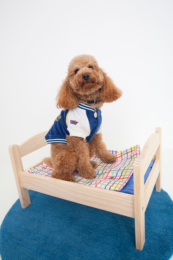 cockapoo-in-bed