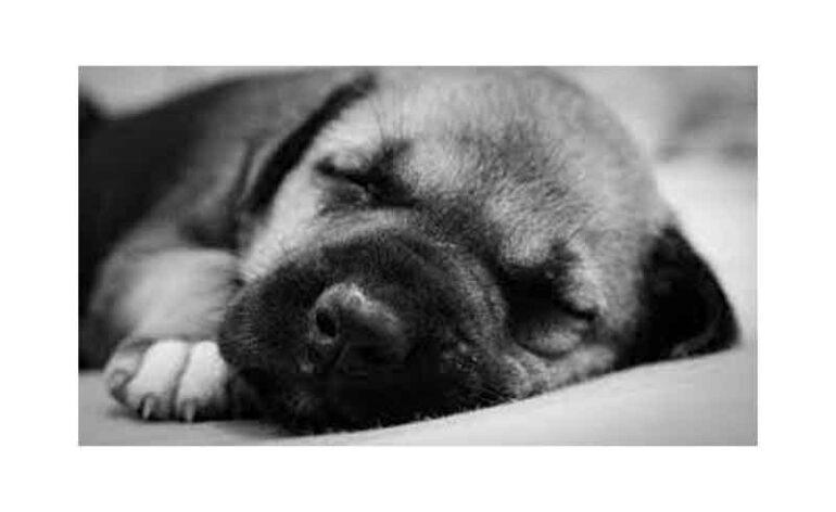 WSD-Sleeping-Dog